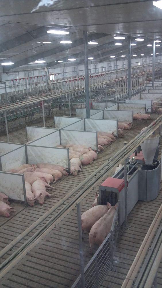 Свинарник на 1000 голов